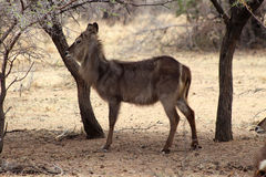 Alert Waterbuck Listening Royalty Free Stock Images