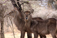 Alert Waterbuck Listening Stock Images