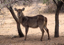 Alert Waterbuck Listening Stock Photography