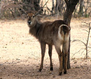 Alert Waterbuck Looking Backwards Listening Stock Photo
