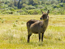 Alert waterbuck staring. Alert young waterbuck portrait standing and staring while in long green grass royalty free stock image