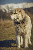 Alert white furry sheepdog Royalty Free Stock Images