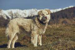 Alert white furry sheepdog Stock Photo
