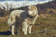 Alert white furry sheepdog Royalty Free Stock Image
