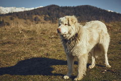 Alert white furry sheepdog Stock Image