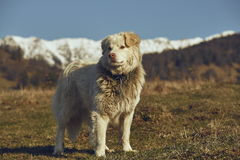 Alert white furry sheepdog Royalty Free Stock Photography