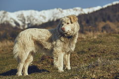 Alert white furry sheepdog Royalty Free Stock Photo