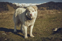 Alert white furry sheepdog Stock Photography