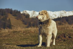 Alert white furry sheepdog Stock Photos