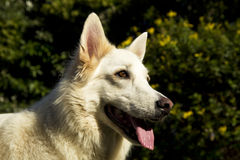 Alert white German Shepherd dog. An alert white German Shepherd dog stock photo