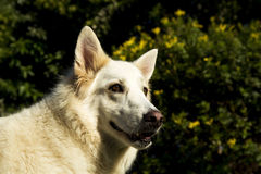 Alert white German Shepherd dog. An alert white German Shepherd dog royalty free stock photos