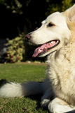 Alert white German Shepherd dog. An alert white German Shepherd dog stock images