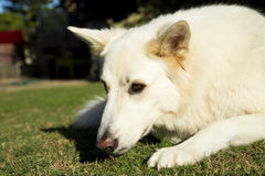 Alert white German Shepherd dog. An alert white German Shepherd dog royalty free stock image
