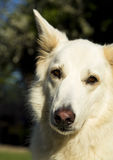 Alert white German Shepherd dog. An alert white German Shepherd dog stock photos