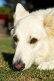 Alert white German Shepherd dog. An alert white German Shepherd dog stock photography