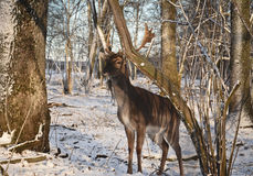 Alert, white-tailed deer buck, and magpie, amongst a scenic winter landscape. belarus nature Stock Photography