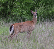 Alert White-tailed Deer Stock Images