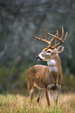 Alert Whitetail Buck Royalty Free Stock Image
