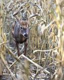 Whitetail buck walking through corn field stock photography
