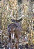 Whitetail buck walking through corn field royalty free stock image