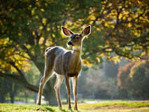 Alert Whitetail deer. Alert deer grazing the green grass, large trees in the background Stock Photos