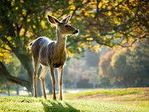 Alert Whitetail deer Royalty Free Stock Photography