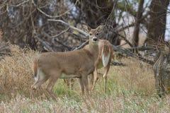 Alert Whitetail Doe. A whitetail doe standing on full alert Stock Images