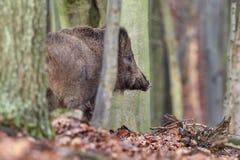 Free Alert Wild Boar, Sus Scrofa Royalty Free Stock Images - 174489259