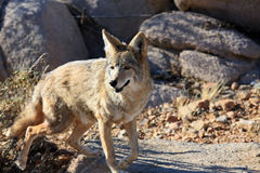 Alert wild coyote Stock Photography