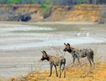 Alert Wild Dogs looking across the dry luangwa river in Zambia. Two endangered wild dogs standng on the dry plains overlooking a dry riverbed in south luangwa Royalty Free Stock Image