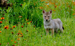Alert Wolf pup in a field of orange wildflowers. Stock Photography