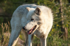 Alert wolf Royalty Free Stock Images