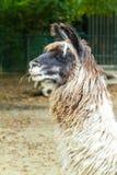 Alert woolly llama Stock Photos
