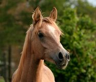 Alert Yearling Arabian Colt Stock Photos