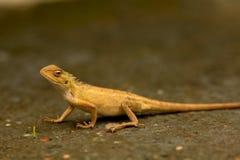 Alert yellow chameleon Stock Image