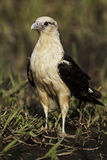 Alert Yellow-headed Caracara on the ground Royalty Free Stock Photography
