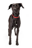 Alert Young Black Labrador Retriever Dog Standing Royalty Free Stock Photo