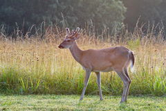 Alert young white tail buck deer with velvet antle Stock Photos