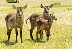 Alert young family of waterbuck. Standing in green grass grazing royalty free stock photography