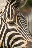 Alert Zebra Stock Photography