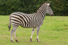 An alert Zebra Royalty Free Stock Photos