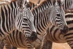 Alert Zebras. A group of Zebras taken in the Ngorongoro Crater, Tanzania stock photography