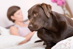 Alerta considerável de Labrador na cama do proprietário Fotos de Stock Royalty Free