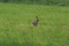 Alerta de assento da única europaeus do Lepus da lebre europeia ou lebre de Brown em um prado foto de stock
