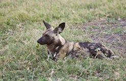 Alerta do cão selvagem nunca Foto de Stock Royalty Free