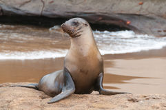 Alerta do leão de mar de Galápagos na praia Foto de Stock