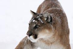 Alerta do leão de montanha ao perigo Fotos de Stock