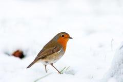 Alerta do pisco de peito vermelho do Natal na neve do inverno foto de stock royalty free