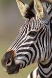 Alerta principal do retrato da zebra Imagens de Stock