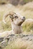 Alerta restante do veado selvagem da ovelha ao descansar fotos de stock